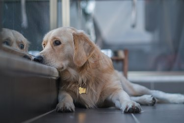 Dog at balcony looking at city view wishing to go for walk outside