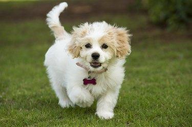Cavachon Puppy Mixed Breed