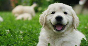 Puppies Golden Retriever breed with pedigree playing, running they roll in the grass in slow motion.