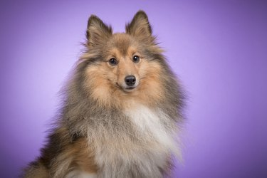 Portrait of a shetland sheepdog looking at camera on a purple background