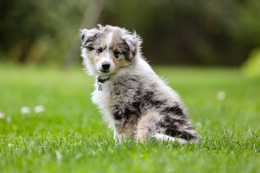 Small beautiful blue merle shetland sheepdog sheltie puppy sitting on garden grass.