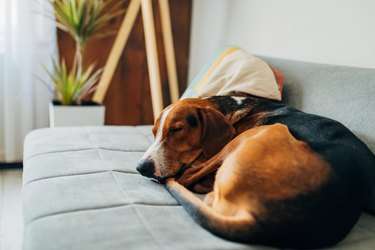 Tired and cute hound dog, sleeping on the sofa, curld up