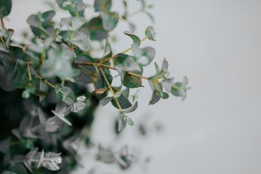 potted eucalyptus gunni at home with copyspace
