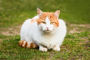 A beautiful stray ginger cat sits in the green grass and looks to the camera. Selective focus