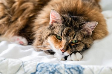 Closeup portrait face of one sad sleepy calico maine coon cat face lying on bed in bedroom room looking down bored with depression