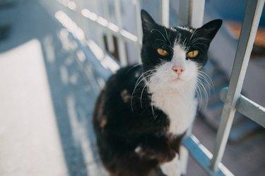 Black and White Senior Cat Looking at Camera