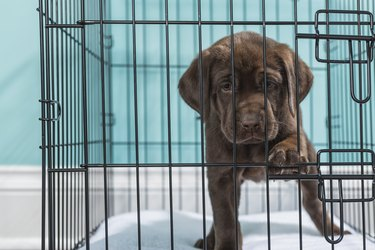 Chocolate Labrador Puppy in wire crate with paw on door Close-up- 7 weeks old