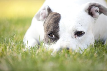 American Pit Bull Terrier Quietly Resting in Grass