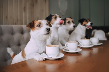 Four jack russell terriers sitting in front of cups