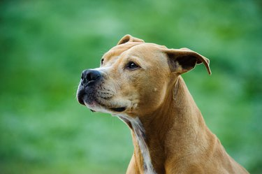American Pit Bull Terrier Looking Away on green background