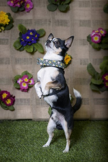 Portrait of a Chihuahua purebred dog with flowers in the background