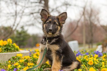 German shepherd puppy sitting in a bed of yellow flowers