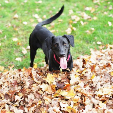 Black Labrador Playing In Autumn Leaves Pile