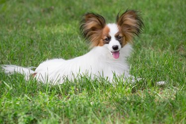 Cute papillon puppy is lying on a green grass in the summer park. Pet animals.