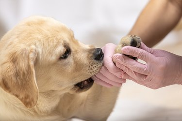 Cute labrador puppy dog getting bandage on its paw at veterinary doctor