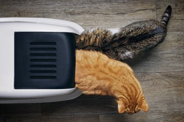 Two tabby cats seen from above while using a closed litter box.