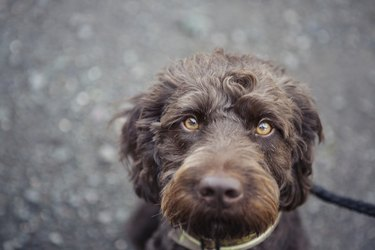 Close-up of a brown labradoodle dog with amber coloured eyes