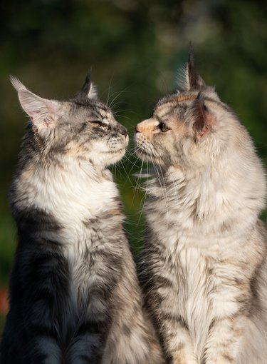 two maine coon cats kissing outdoors in nature