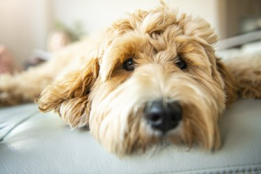Golden Labradoodle dog at home on the sofa