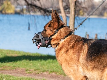 Close up with a german shepherd dog breed with a muzzle (mouth guard) and leash