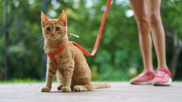 Small orange kitten walking in a harness and leash.