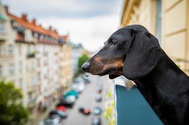 nosy watching dog from balcony