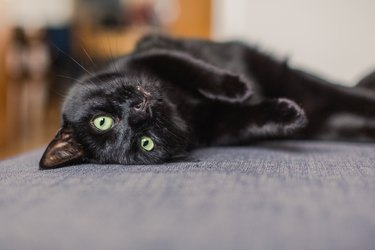 black cat chilling on a gray sofa at home lying on his back