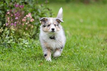 Beautiful small shetland sheepdog sheltie puppy walking on garden grass.