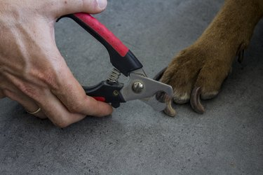 Human hand holds steel nails clipper. Adult dog daily routine photo.