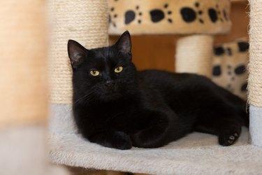 black  cat consider, lying in animal tree