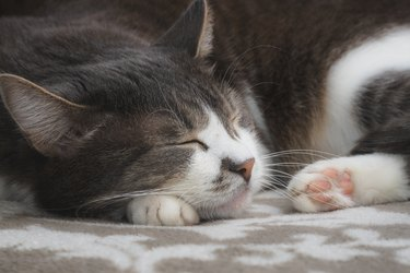 Grey well-groomed cat is sleeping sweetly on the sofa. Close-up portrait of a happy pet.