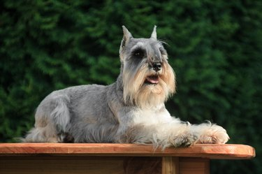 A gray dog of the miniature schnauzer breed lies in the cottage outdoors