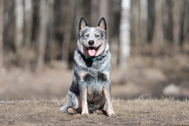 Blue heeler sitting in a forest
