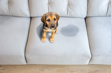 A puppy peed on a light blue couch