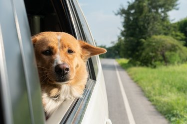 Dog on car window a road trip, Ready to travel. Traveling with pets concept