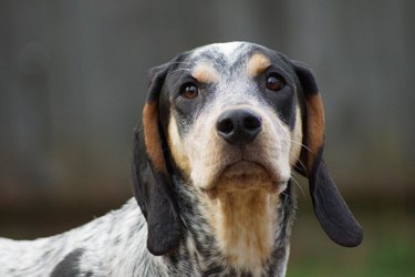 Bluetick coonhound dog looking at camera