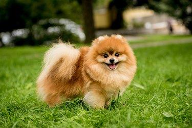 Portrait of cute pomeranian dog at the park.