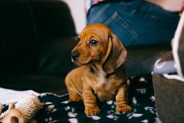 8 weeks old smooth brown dachshund puppy sitting on a brown leather sofa on a black blanket with paws print.