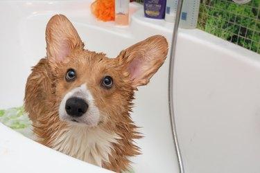 Corgi dog in bathtub