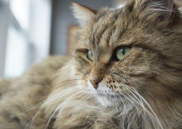 Tabby cat head with green eyes near the window