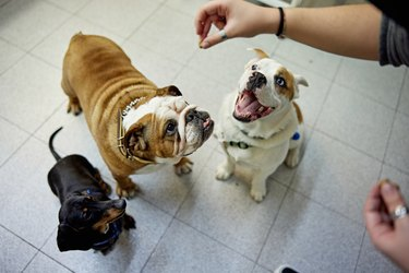 Group of Pampered Dogs About to Get a Treat