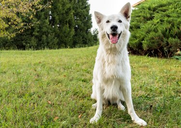 White Dog Sticking Out Tongue While Sitting On Grassy Field