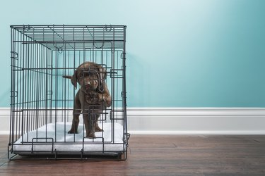Chocolate Labrador Puppy in wire crate with paw on door- 7 weeks old