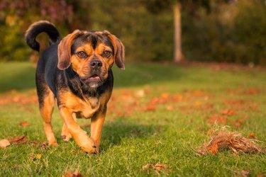 Small Sweet Dog (Puggle) in Autumn