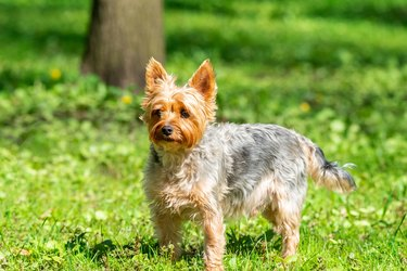 Yorkshire Terrier plays in the park on the grass.