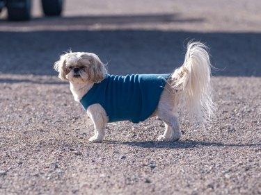 Cute Shih Tzu dog wearing a blue sweater
