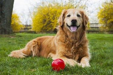 Senior Golden Retriever with ball