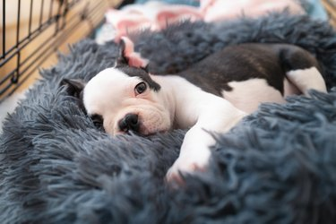 Adorable Boston Terrier puppy, lying in a snuggle bed safe inside her crate, looking at the camera.