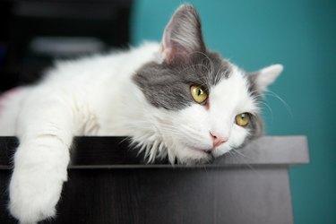 Bored Cat Hanging On Edge Of Desk