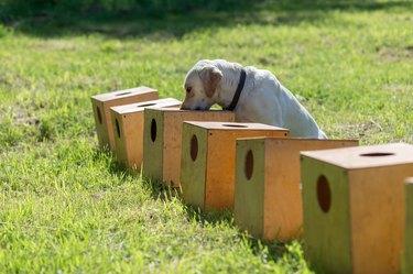 White Labrador Retriever searches for hidden object
